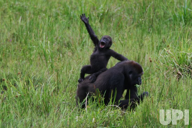 Large endangered gorilla population discovered in the Republic of Congo