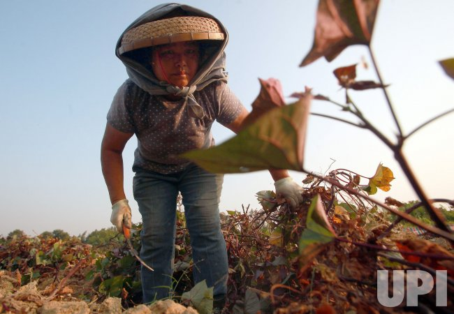 A Chinese woman harvests yams in Nansha