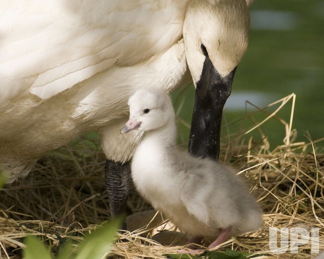 Trumpeter swans thrive at Lincoln Park Zoo in Chicago