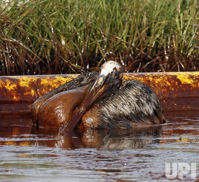 Pelican wallows in crude oil from BP oil spill