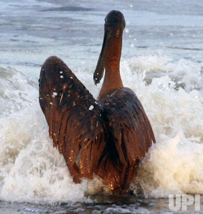 Oil-soaked pelican on Grand Isle, Louisiana
