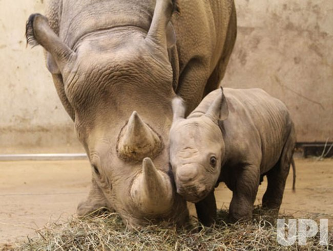 New baby Rhino born at St. Louis Zoo