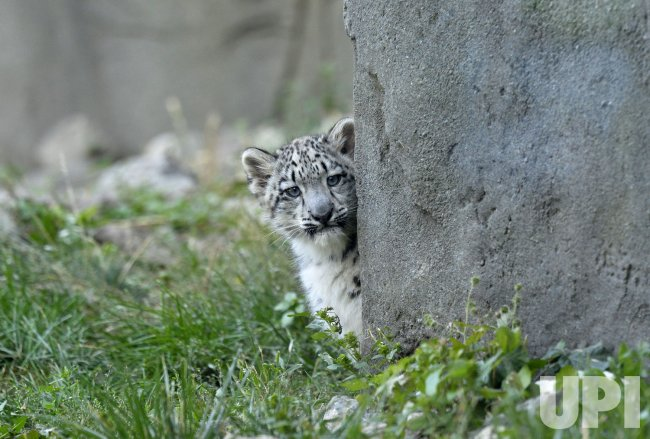 Snow Leopard Cub Debuts at Brookfield Zoo in Brookfield, Illinois