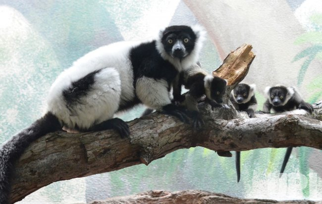 Three black and white ruffed lemur infants born at Saint Louis Zoo