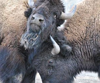 Yellowstone bison hunt to go forward, judge rules