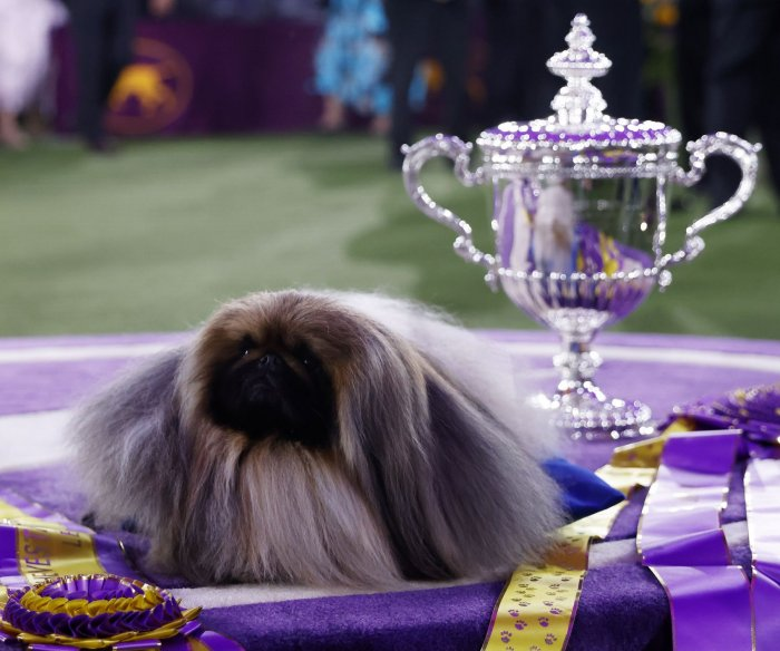 Wasabi wins the Westminster Dog Show
