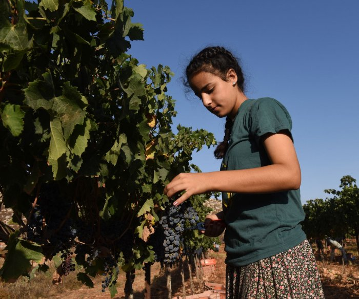 Harvesting grapes in the West Bank for the Psagot Winery
