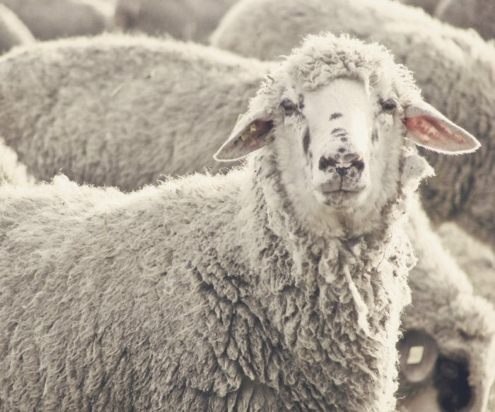 Researchers grow human cells in sheep embryos