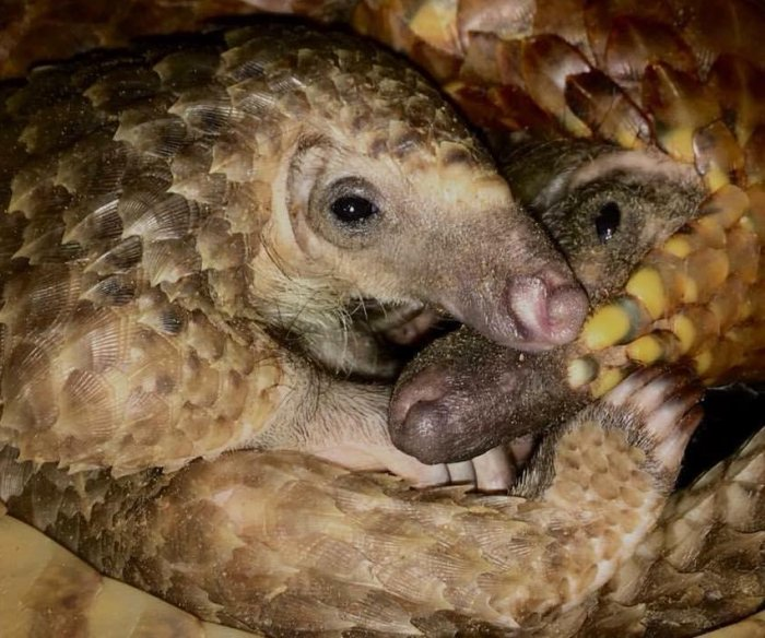 Research shines camera on little-known, much abused pangolins