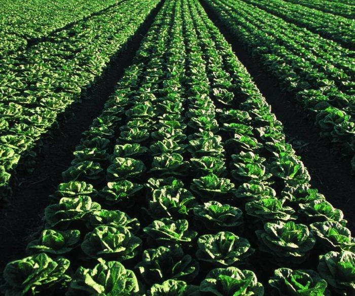 FDA begins testing romaine lettuce after E. coli outbreaks