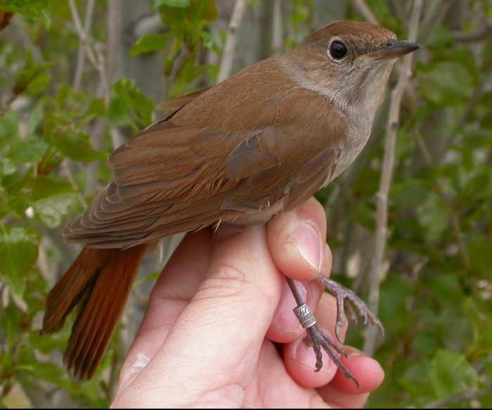Climate change shrinks wings of nightingale, makes migration difficult