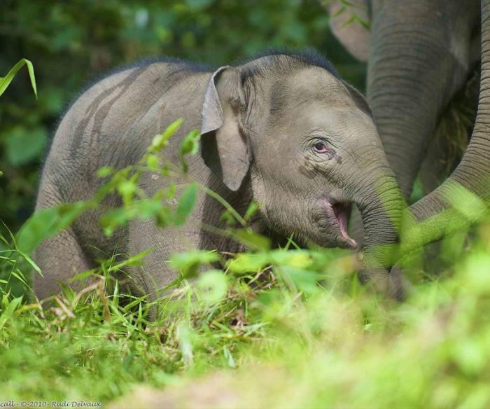 Scientists trace mysterious origin of Bornean elephants