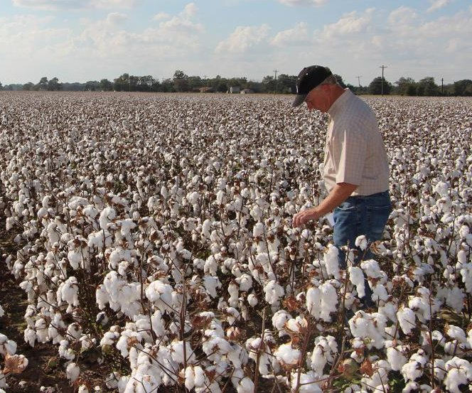 Genetically modified cotton plant could help feed 500M, experts say