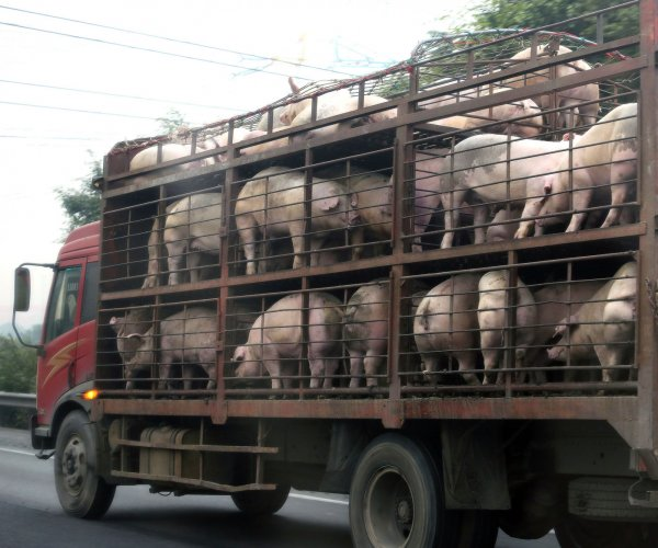 Insurance companies offer policies for African swine fever
