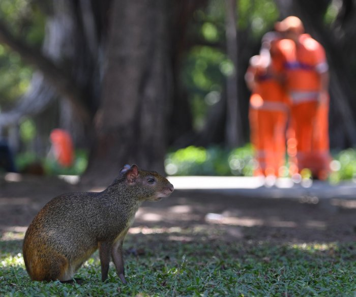 Into the Wild: Capybaras roam the streets of Rio