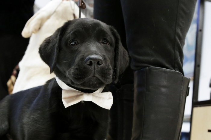 Labrador Retriever named most popular dog breed of 2018