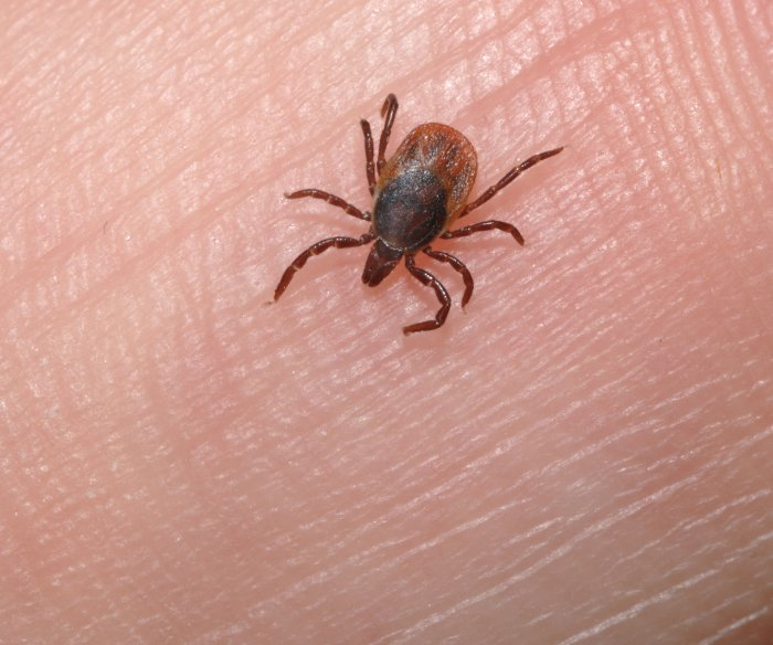 Scientists eye tick 'cement' as potential medical adhesive