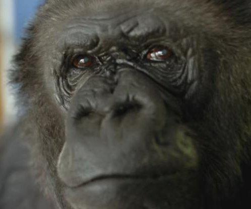 Koko the sign language gorilla dies at 46