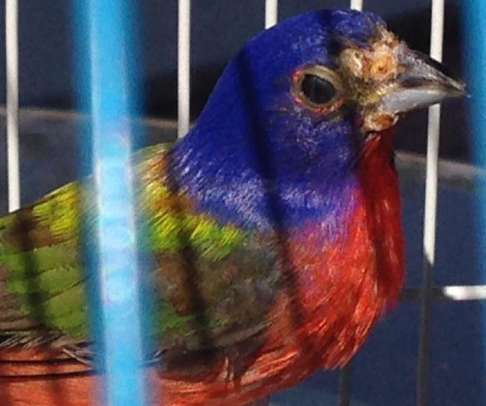 Florida cracks down on trapping colorful songbirds for illegal markets