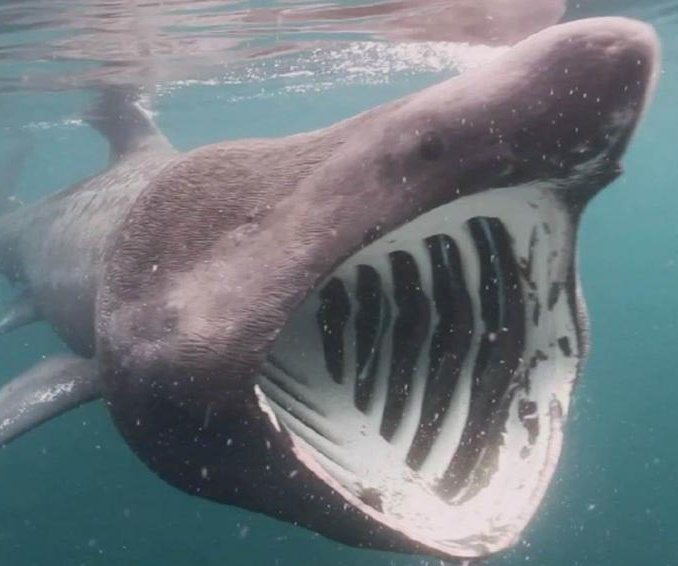 Basking sharks follow the sun south during the winter