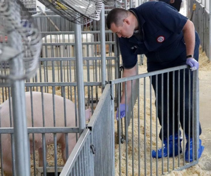 Researchers search for next pandemic human flu virus in county fair pigs