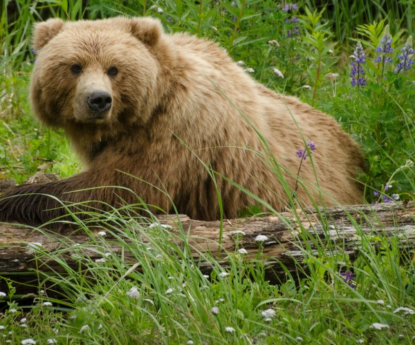 U.S. to remove Yellowstone grizzly from 'endangered' list