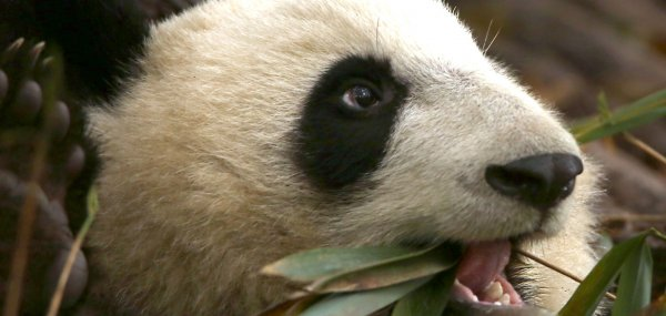 China's panda population recovering years after earthquake