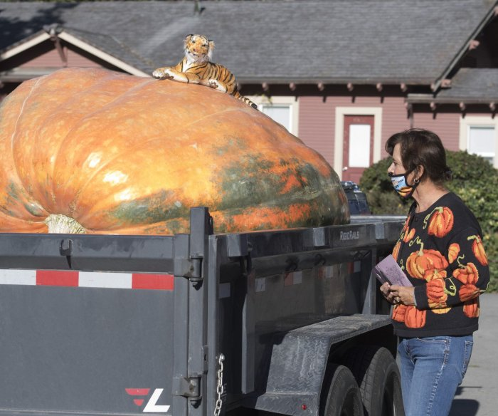 Growers of giant pumpkins compete in California
