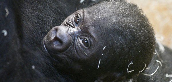 8 things you didn't know about baby gorillas