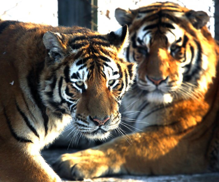 Central Asia ready to be repopulated with tigers, new study says