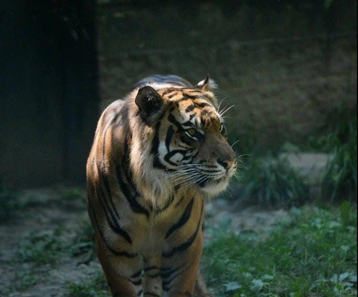 Tiger attacks zookeeper at Topeka Zoo