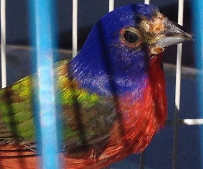 Florida cracks down on songbird trapping