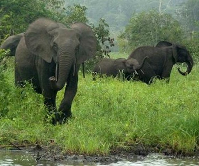 Gabon's elephants are being decimated by poachers