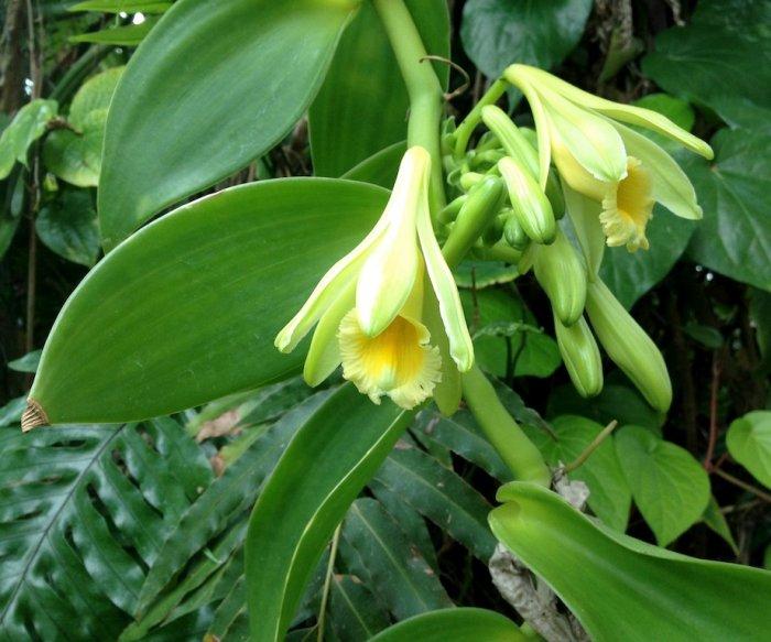 Researchers, growers seek vanilla production in Florida