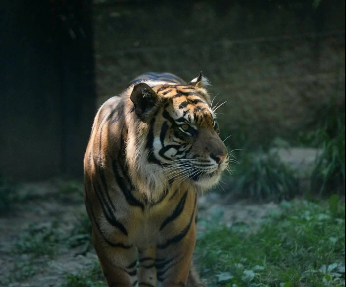 Tiger attacks zookeeper at Topeka Zoo