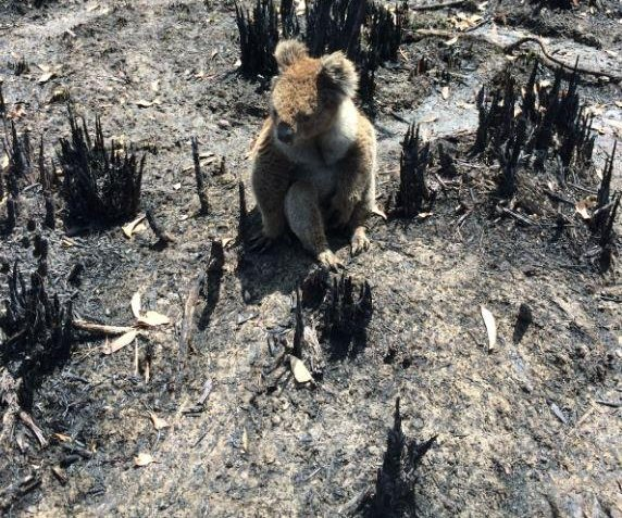 Almost 44,000 animals on Australia's Kangaroo Island have died from fire