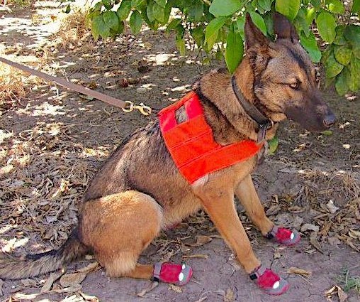 Dogs able to detect citrus greening disease killing crops in Fla., Calif.
