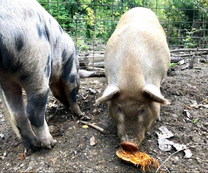 U.S. will begin testing hogs for African swine fever