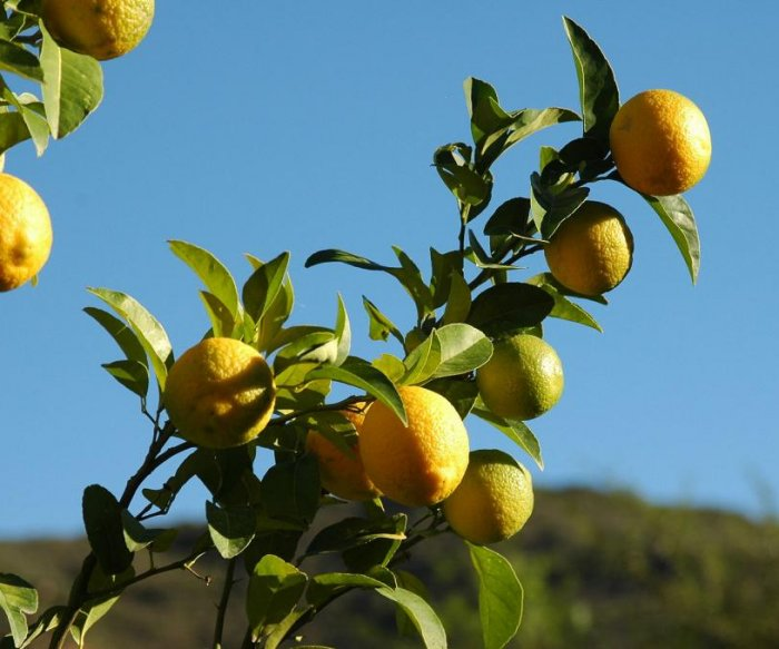 Italian mafia's roots may lie in the lemon industry