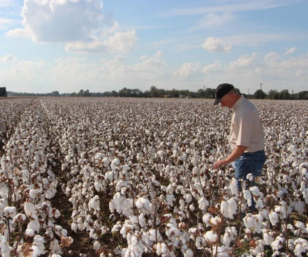 Cotton seed for dinner? That could become a reality