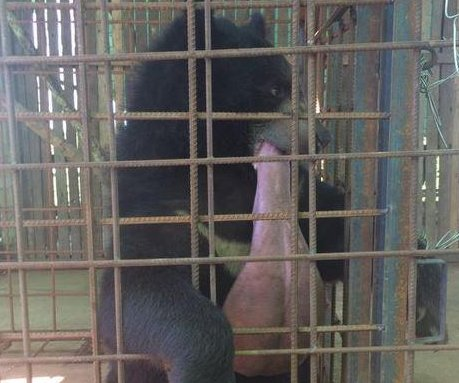 Myanmar bear with giant tongue saved by veterinarian team