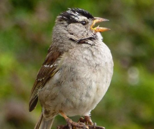 With less noise during lockdown, Bay Area sparrows sang 'sexier' songs
