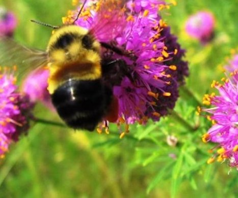 Rusty patched bumble bee attains 'endangered' status