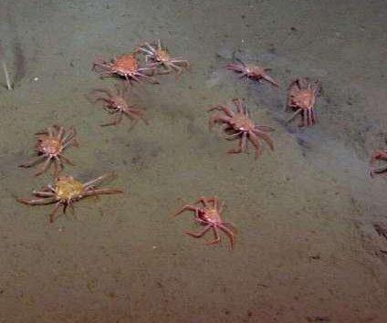 Scientists find tanner crabs feeding on seafloor methane vent