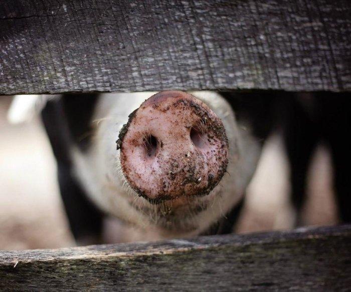 Lawsuits seek to halt new federal hog slaughter inspection system