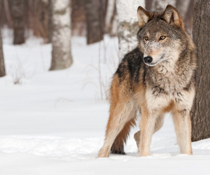 Shooting of gray wolf spurs calls for no-hunt zones near U.S. parks