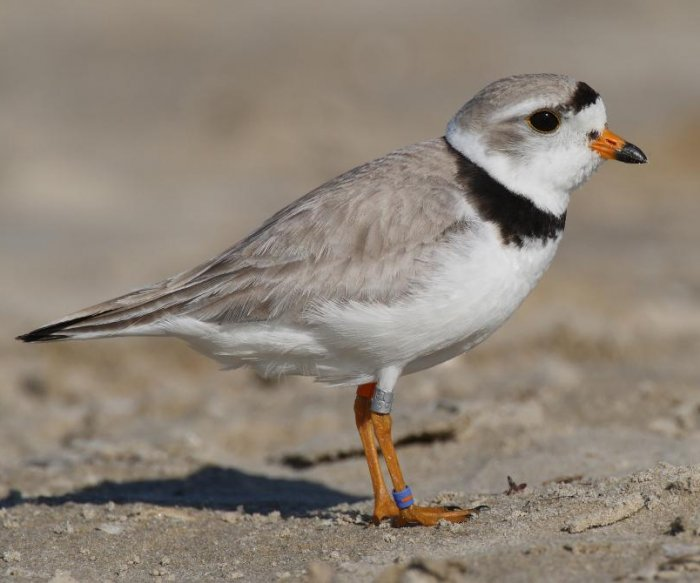 Small falcons endanger piping plovers in Great Lakes