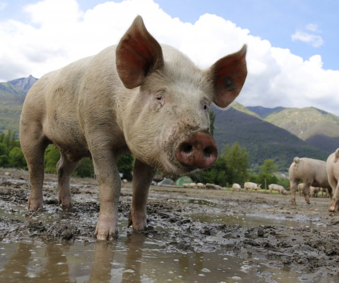 Vaccine for African swine fever years from production, experts say
