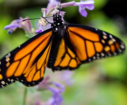 Scientists puzzled why monarch butterflies are dying so quickly