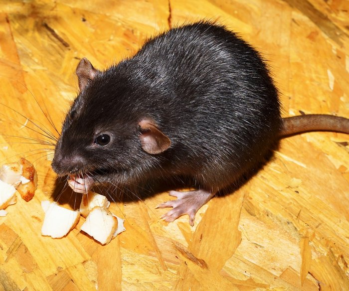 Genetic survey of rats could help New York curb the rodent population